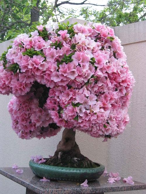 do-quyen-bonsai