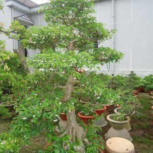 bonsai_mai-chieu-thuy