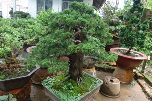 bonsai_tùng